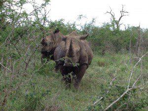 Swazi rhinos